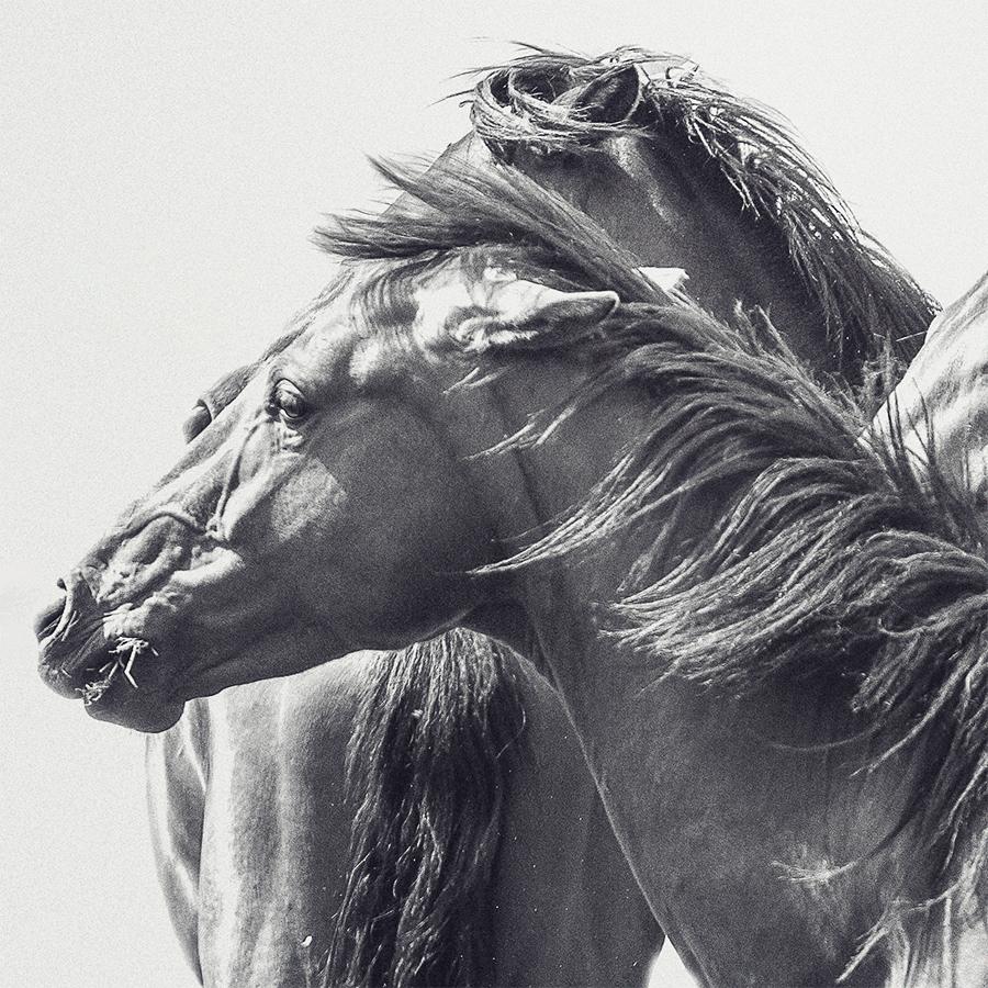 paardenfotografie @ellenpitlofotografie bw hengsten