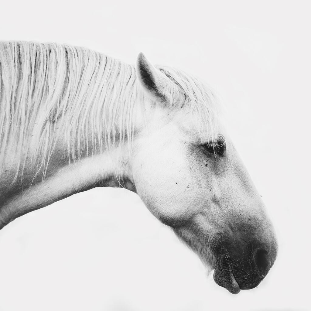 paardenfotografie @ellenpitlofotografie bw merrie normandie