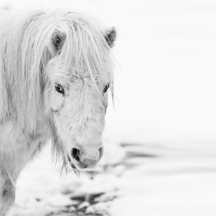 paardenfotograaf @ellenpitlofotografie shetlander wit sneeuw