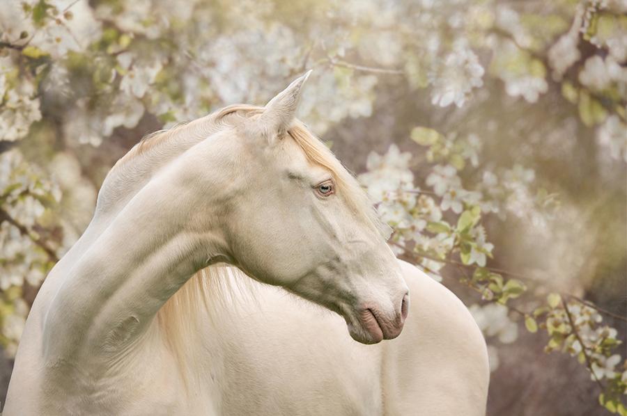 paardenfotograaf Ellen Pitlo Cremello